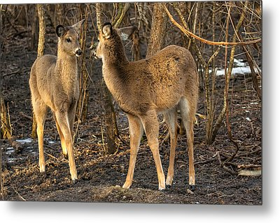 Curious Attraction   Metal Print by James Marvin Phelps