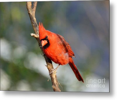 Metal Print featuring the photograph Curious Cardinal by Lisa L Silva
