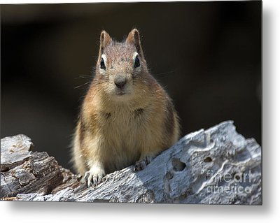 Metal Print featuring the photograph Curious Chipmunk by Chris Scroggins