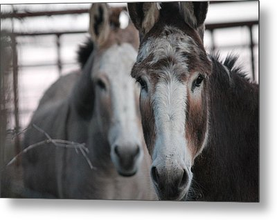 Curious Donkeys Metal Print by Lorri Crossno