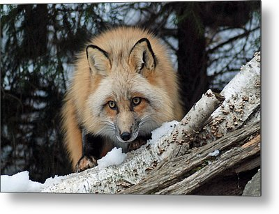 Curious Fox Metal Print by Richard Bryce and Family