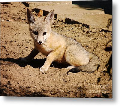 Curious Kit Fox Metal Print