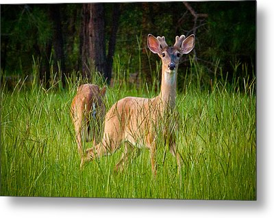 Curious Metal Print by Linda Unger