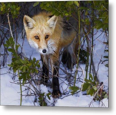 Curious Red Fox Metal Print