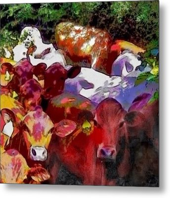 Curious Senepol Cattle - Square Metal Print