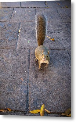 Curious Squirrel Metal Print by Michele Stoehr