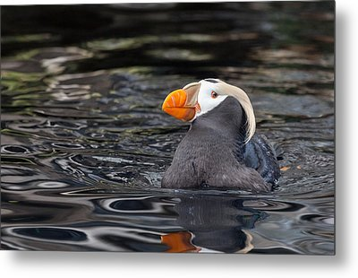 Curious Tufted Puffin Metal Print by June Jacobsen