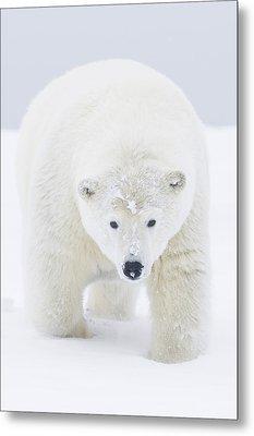 Curious Young Polar Bear Boar Walks Metal Print