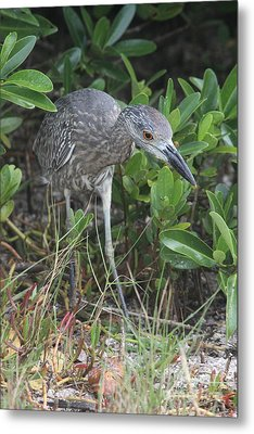 Curiously Night Heron Chick Metal Print by Christiane Schulze Art And Photography