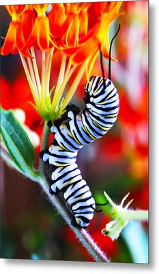 Curly Caterpiller Metal Print by Betsy Straley