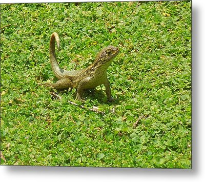 Curly-tailed Lizard Metal Print