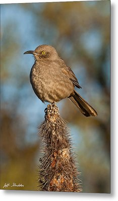 Curve-billed Thrasher On A Cactus Metal Print by Jeff Goulden