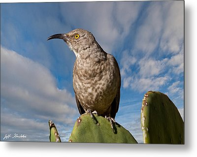Curve-billed Thrasher On A Prickly Pear Cactus Metal Print