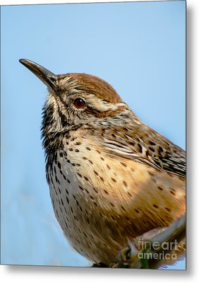 Cute Cactus Wren Metal Print by Robert Bales