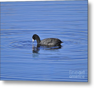 Cute Coot Metal Print by Al Powell Photography USA