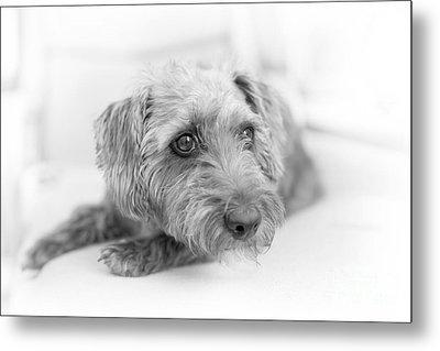 Cute Pup On Watch Metal Print by Natalie Kinnear