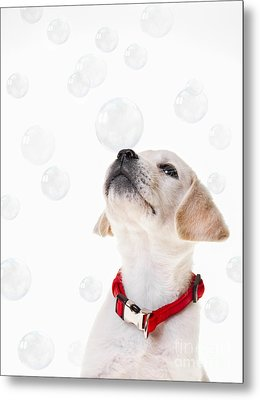 Cute Puppy With A Soap Bubble On His Nose. Metal Print