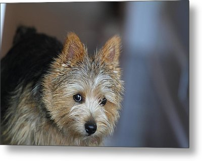Cutest Dog Ever - Animal - 011321 Metal Print by DC Photographer