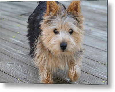 Cutest Dog Ever - Animal - 011327 Metal Print by DC Photographer
