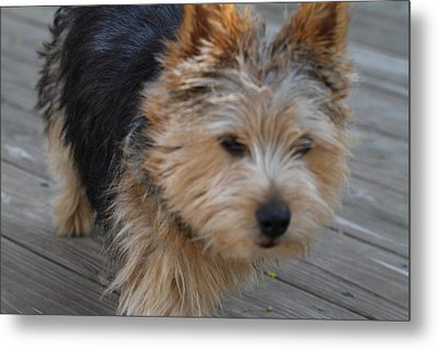 Cutest Dog Ever - Animal - 011328 Metal Print by DC Photographer