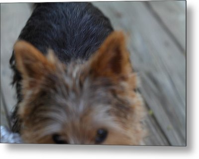 Cutest Dog Ever - Animal - 01133 Metal Print by DC Photographer