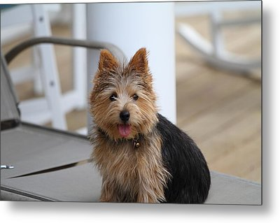 Cutest Dog Ever - Animal - 011335 Metal Print by DC Photographer