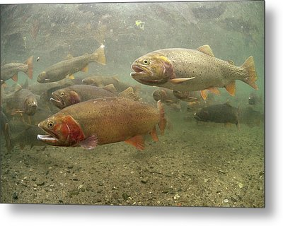 Cutthroat Trout In The Spring Idaho Metal Print