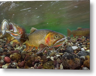Cutthroat Trout Spawning In The Gros Metal Print