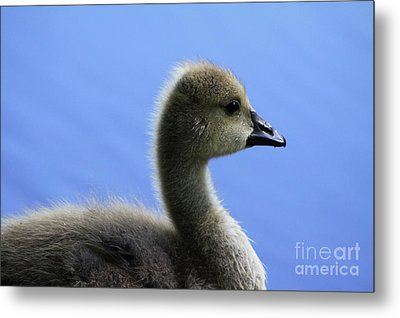 Metal Print featuring the photograph Cygnet by Alyce Taylor