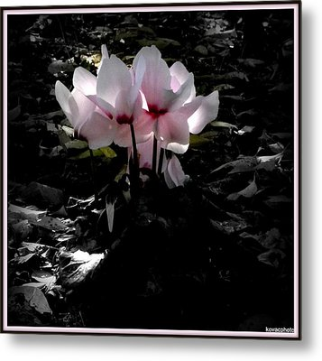 Cylamen In Evening Light Metal Print