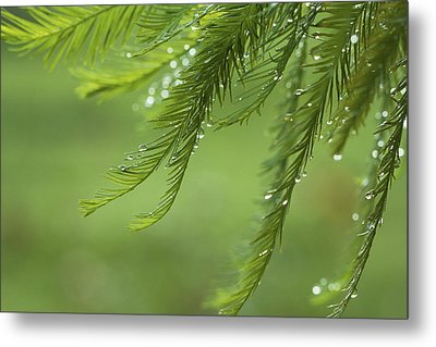 Metal Print featuring the photograph Cypress In The Mist - Art Print by Jane Eleanor Nicholas