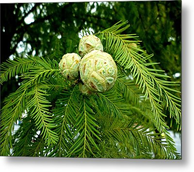 Metal Print featuring the photograph Cypress by Pete Trenholm