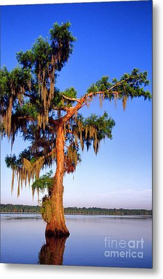 Cypress Tree Draped In Spanish Moss Metal Print