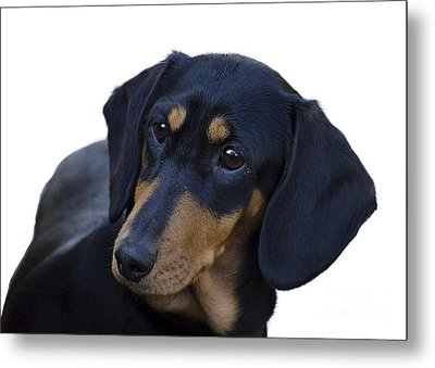 Dachshund Metal Print by Linsey Williams
