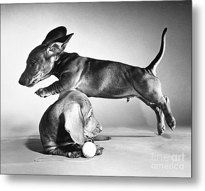 Dachshund Puppies Playing Metal Print by ME Browning
