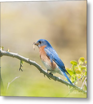 Daddy Bluebird Metal Print