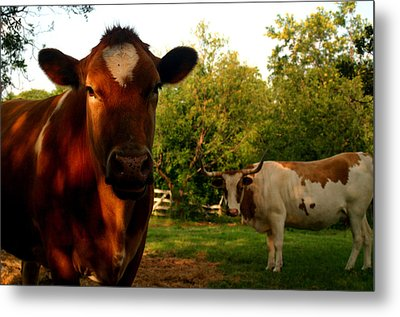 Dads Cows Metal Print