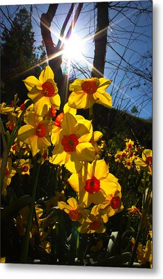 Metal Print featuring the photograph Daffodil Days by Richard Stephen