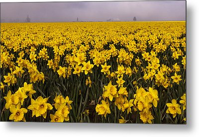 Daffodil Fields Of Fog Metal Print by Tony Locke