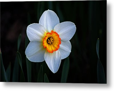 Metal Print featuring the photograph Daffodil In Riverside Park by Bill Swartwout