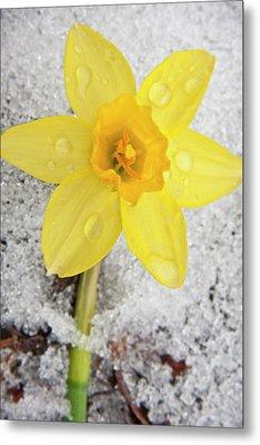 Daffodil In Spring Snow Metal Print by Adam Romanowicz