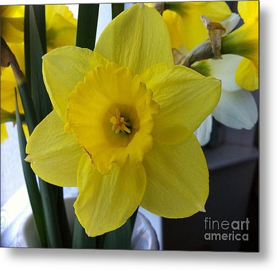 Daffodil Metal Print by Julie Koretz
