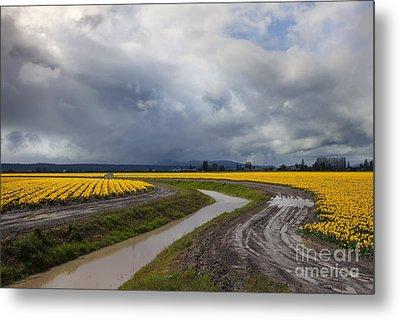 Daffodil Lane Metal Print by Mike  Dawson