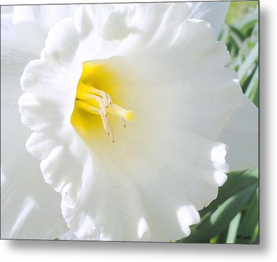 Daffodil Metal Print by Mary Beth Landis