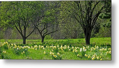 Metal Print featuring the photograph Daffodil Meadow by Ann Horn