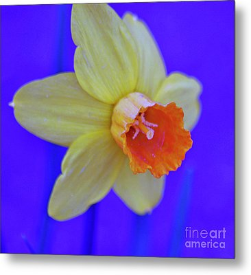 Metal Print featuring the photograph Daffodil On Blue by Juls Adams