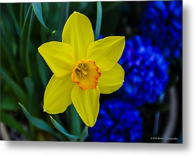Metal Print featuring the photograph Daffodil by Phil Abrams