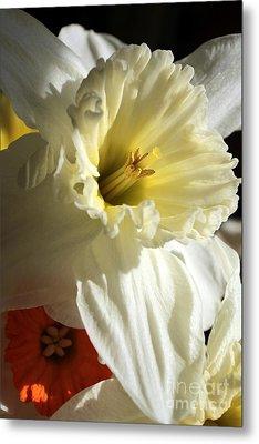 Daffodil Still Life Metal Print by Kenny Glotfelty