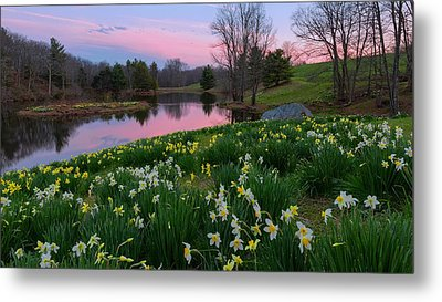 Daffodil Sunset Metal Print by Bill Wakeley