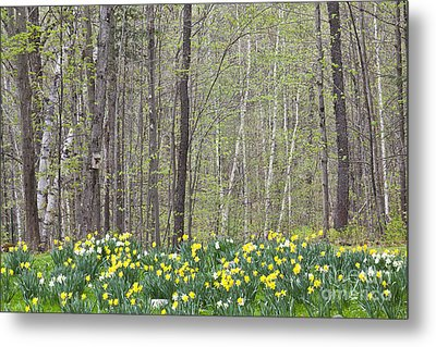 Daffodil Woods Metal Print by Alan L Graham